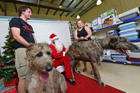 Santa Scott Michael with Irish Wolfhounds (left) Nara and Remy and owners Mishka Harrison-Smith and Matt Blandford at Best Friends Pet Store in Kawana where pets could have their photo taken with Santa Paws as part of a Pets Love Pressies event in support of 4Paws refuge. Photo: Iain Curry / Sunshine Coast Daily