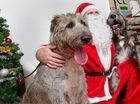 Santa Scott Michael with Irish Wolfhounds (left) Nara and Remy at Best Friends Pet Store in Kawana where pets could have their photo taken with Santa Paws as part of a Pets Love Pressies event in support of 4Paws refuge. Photo: Iain Curry / Sunshine Coast Daily