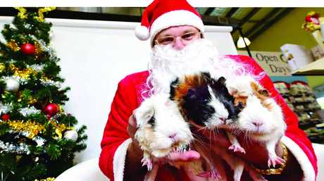 DOGGY GRINS: Santa Scott Michael with guinea pigs Shaun, Black Betty and Miss Piggy at Best Friends Pet Store in Kawana where pets could have their photo taken with Santa Paws as part of a Pets Love Pressies event in support of 4Paws refuge.