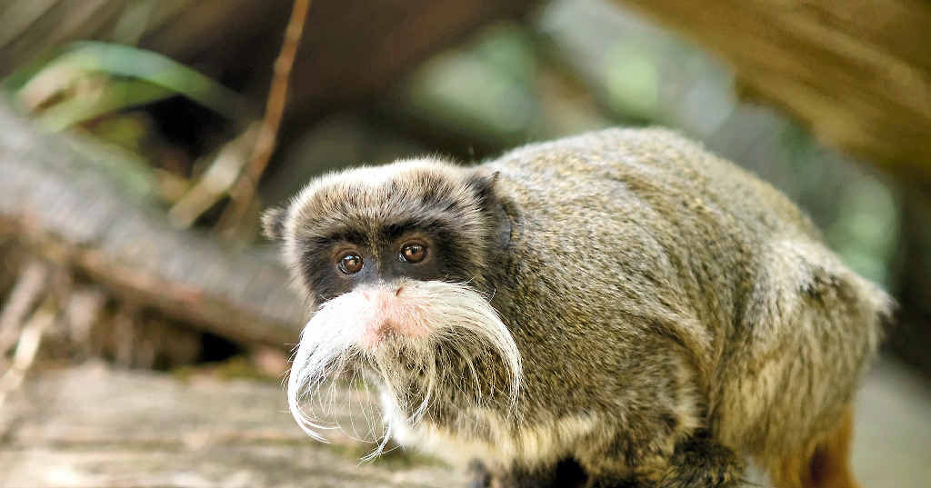 An emperor tamarin, similar to this one, was was destroyed for quarantine reasons after being found during a drug raid at Burrum Heads.