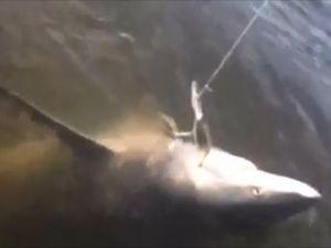 VIDEO: Fisherman snares shark in Fitzroy River in kayak