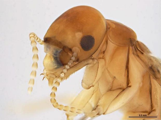 TINY TERROR: He might be small, but the West Indian drywood termite packs plenty of punch and is a huge threat to Australia.