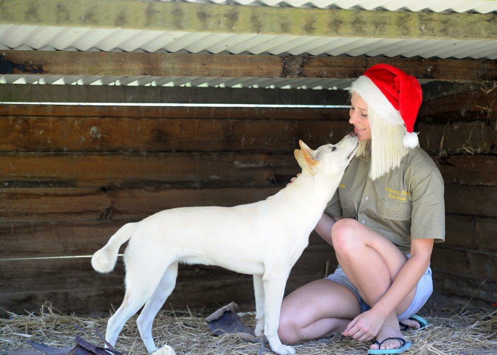 Zahra Chamberlain, the daughter of Michael and Ingrid Chamberlain, with rare white dingo Spirit at the Fraser Coast Wildlife Sanctuary.