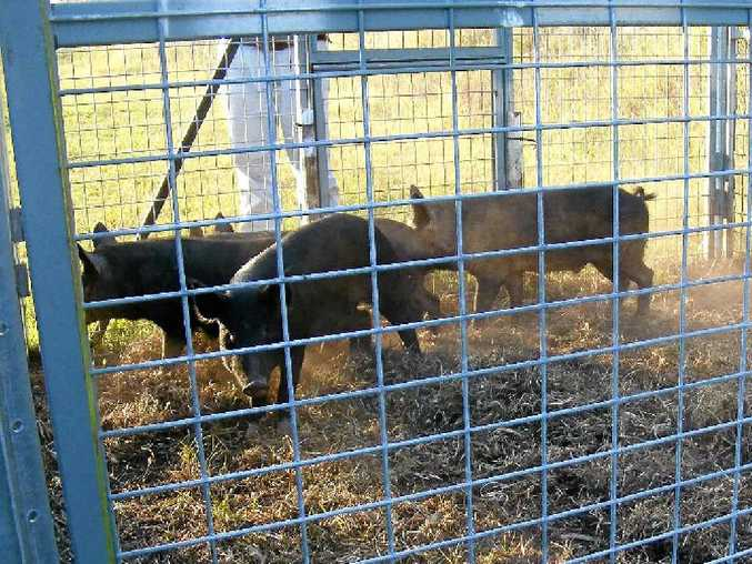 IMPROVED TRAPPING TECHNIQUES: Feral pigs recently trapped near Yuraygir National Park.