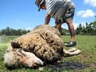 Pet sheep killed by roaming dogs
