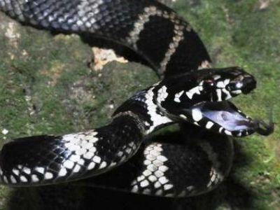 Stephens' banded snake.