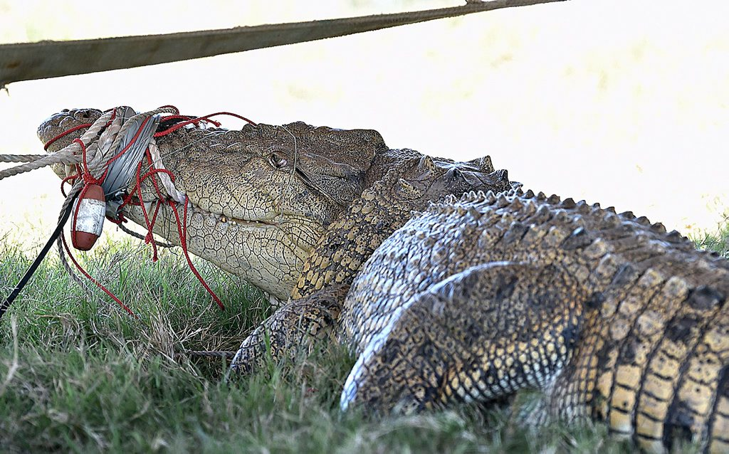 A 3.8 m crocodile caught in the Mary River at the Mungar reach. Photo: Alistair Brightman / Fraser Coast Chronicle