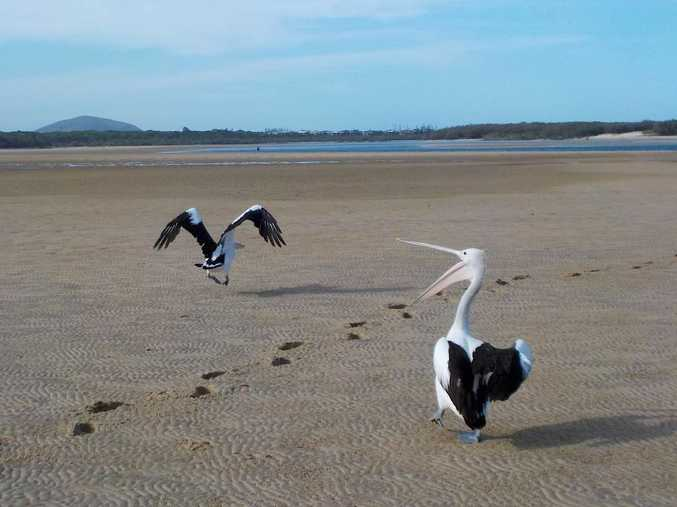 Some local pelicans were happy to pose for some pictures taken with a Nikon Coolpix S32 camera.