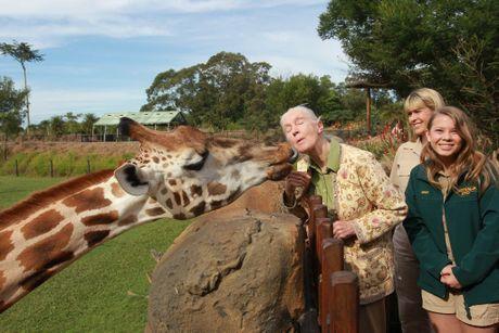 Jane Goodall visits Australia Zoo. Jane gets friendly with one of the giraffe's. Photo: Brett Wortman / Sunshine Coast Daily