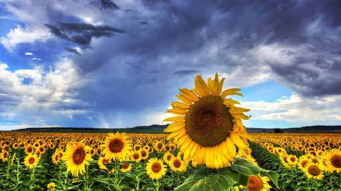 ARRESTING: A local paddock of sunflowers against the backdrop of a gathering storm.
