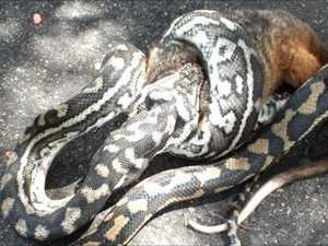 Buderim neighbourhood captures snake eating possum