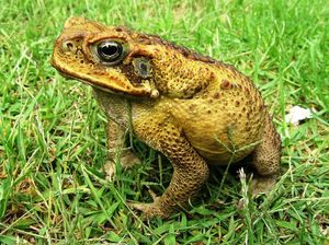 Warning as cane toad spotted at racecourse