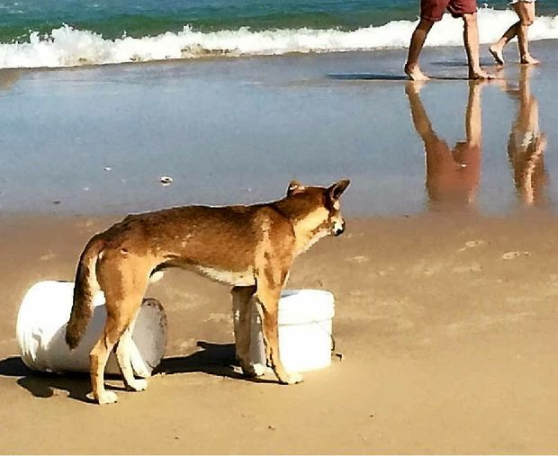 CONCERN ABOUT DINGO DEATH: A dingo is photographed near a bait bucket on a beach at Fraser Island.