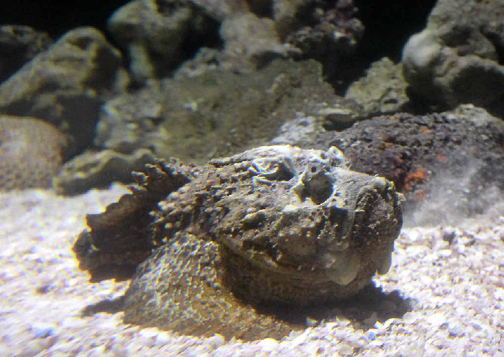 The stonefish is one of the world's most venomous fish.