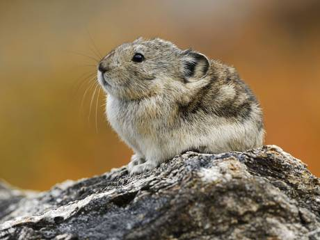 A Chinese red pika (Ochotona erythrotis) standing on a rock in the Mengda Nature Reserve, Qinghai Province, China