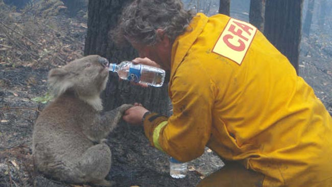 In this iconic image, Sam the koala is given something to drink by a firefighter during the Black Saturday bushfires