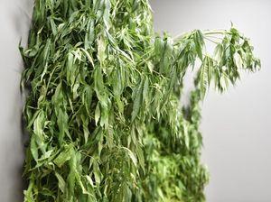Qld Govt releases bill to legalise medical marijuana