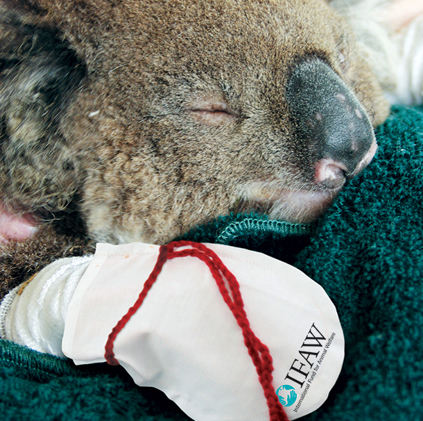 Once rescued koalas are really docile creatures who will sit still and let you treat them. Photo John Paoloni (from Facebook)