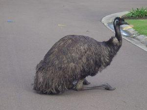 """Scuz me mate! Get off the road,"" Eric the emu cops a spray"
