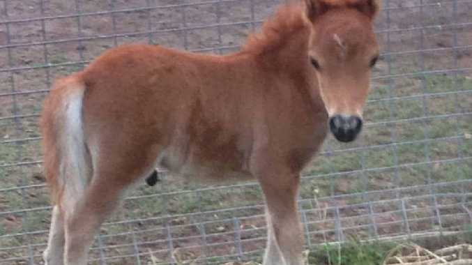 LOST FOAL: Three-week-old Turbo was stolen from a Water St paddock on Wednesday night and his owner is hoping for his safe return.