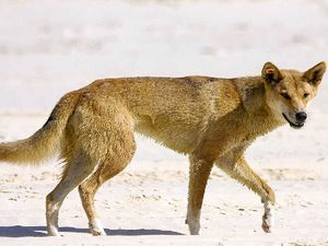 Man cops $500 fine for feeding Fraser Island dingo
