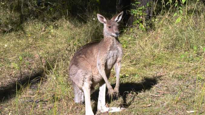 FILE PHOTO: A man in his 40s suffered injuries after he hit a kangaroo on his motorbike at Meridan Plains early this morning.