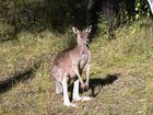 Man dies after veering to avoid hitting kangaroo