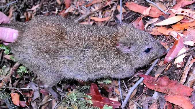 IN DANGER: A long-nosed potoroo being released into the wild.