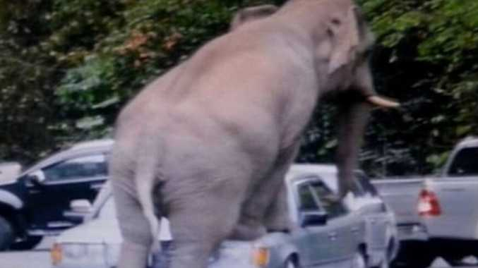 The elephant attacked several cars in behaviour blamed on the mating season