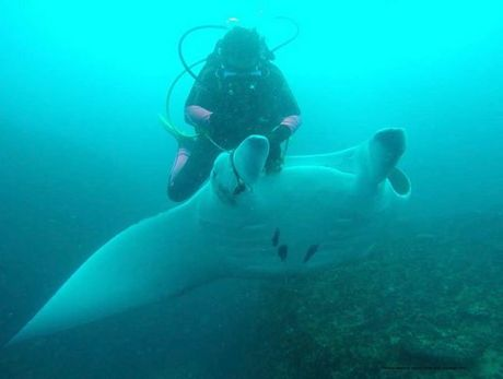 A diver at Wolf Rock, off Rainbow Beach, attempts to free a stricken manta ray tangled in rope and debris