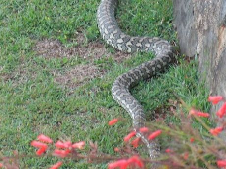 A python spotted in a Prince Henry Heights yard.