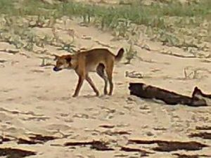 Grants will give better insight into Fraser's dingoes