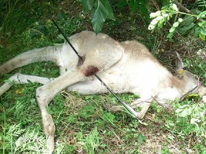 Senseless: two kangaroos shot with arrows in two weeks