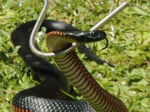 Red-bellied black snake display