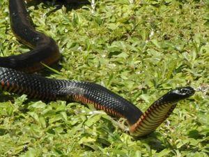 Boy hospitalised following snake bite