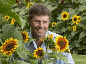 Sunflowers bring cheer to city gardens
