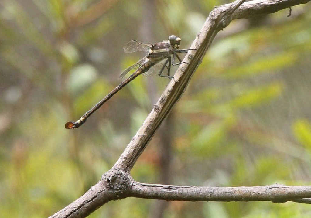 UNDER THREAT: The endangered Coastal Petaltail Dragonfly at Gilmores Lane wetland, near Tyndale. Photo: F. Forest