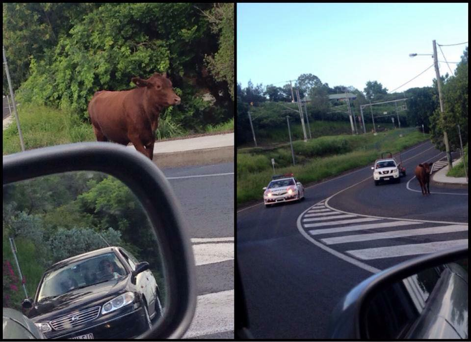 Drivers had to steer clear of an escaped cow found in East Ipswich this morning.