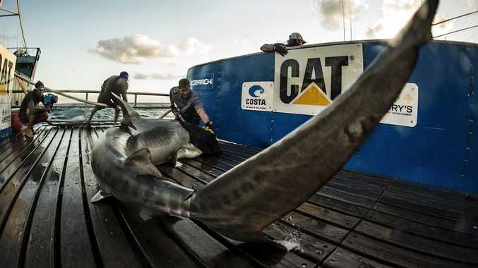 Ocearch captain Brett McBride tagging a mature tiger shark, named Jedda, off Fraser Island.