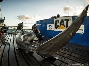 Tiger shark tagged off Fraser and you can follow it