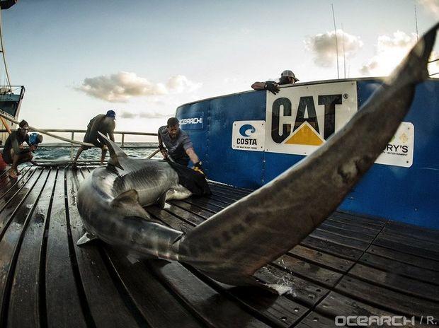 Ocearch captain Brett McBride tagging a mature tiger shark, named Jedda, off Fraser Island.