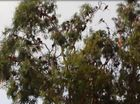 Rainbow lorikeets in the trees at Neilsens Park on the Esplanade at Torquay.
