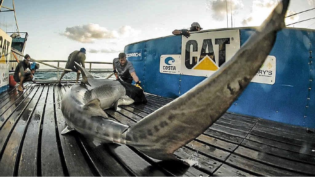 TAGGED: Captain Brett McBride tagging mature tiger shark Jedda off the Fraser Island coast. PHOTO: OCEARCH
