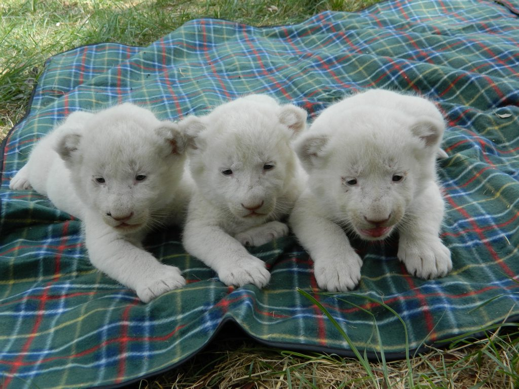 Triple Trouble. Three white tiger cubs born at Darling Downs Zoo Photo Contributed