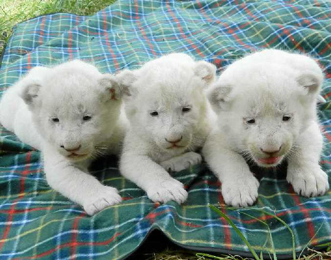 Three rare white lion cubs were born at Darling Downs Zoo last month, the second litter since the lions were first imported to the Pilton zoo in 2010.