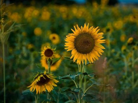 Selina Boyle - Sunflowers make me smile.