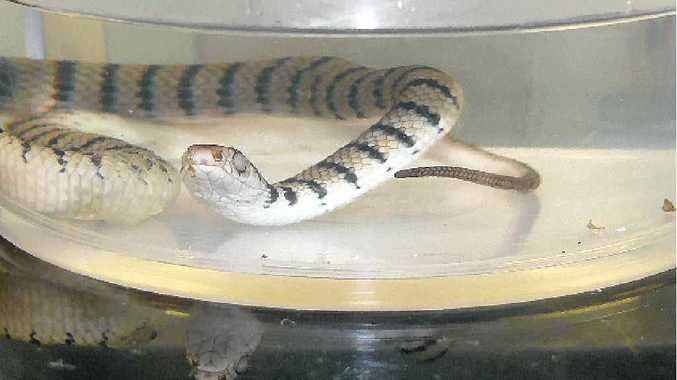 BABY EASTERN BROWNS CAN KILL: Don't let the small size and stripes fool you. This is a deadly eastern brown snake, caught in a backyard near Grafton. It is capable of delivering a lethal dose of venom from birth. Photo Tim Howard