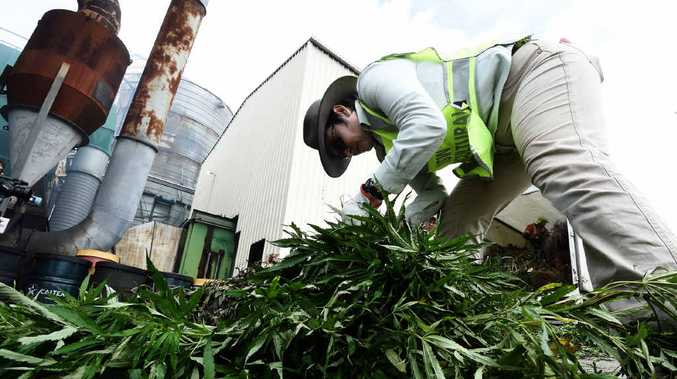 SORTING THE WEED: Police burn off marijuana plants siezed in a week long operation.