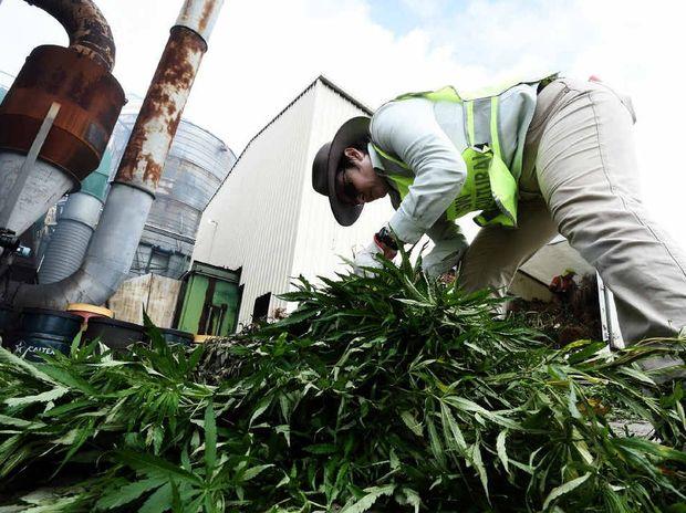 SORTING THE WEED: Police burn off marijuana plants siezed in a week long operation.