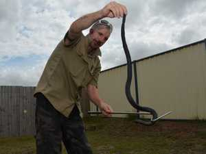 Christian catches a red bellied black snake in suburban shed